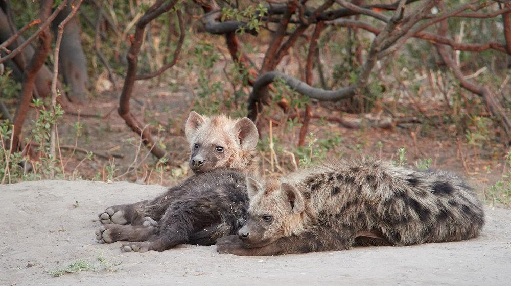 Young hyena 1600x1200 sRGB.jpg
