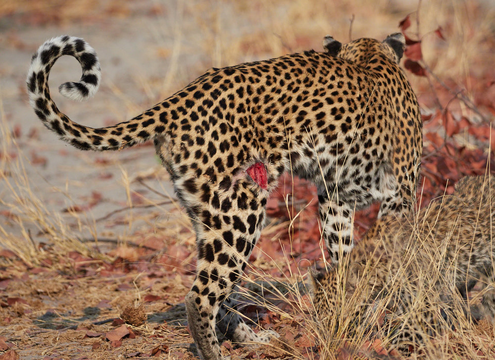 Gored leopard, probably from Warthog tusk.