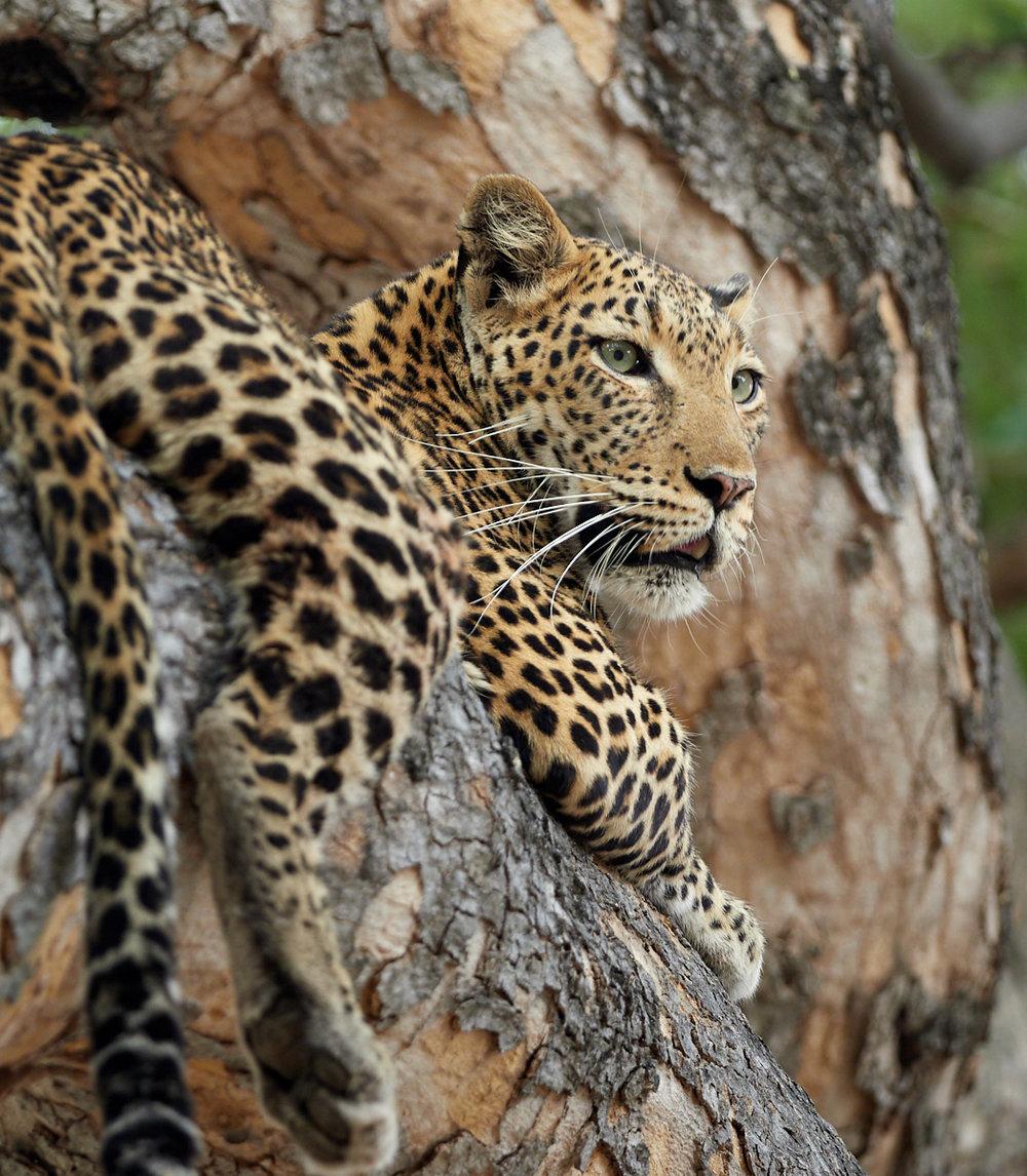 Treed leopard.