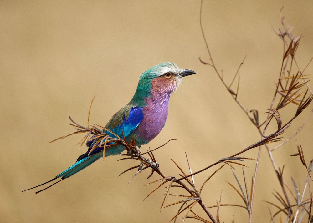 Lilac-breasted Roller, Savuti