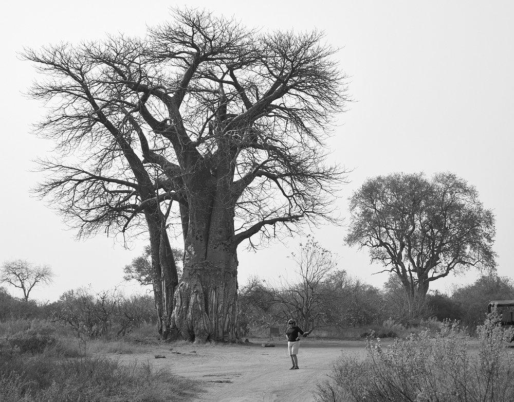 Baobabs, Savute