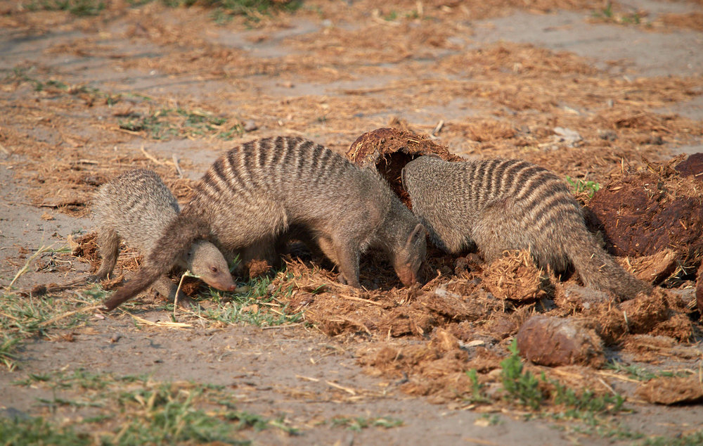 Banded mongoose on elephant dung