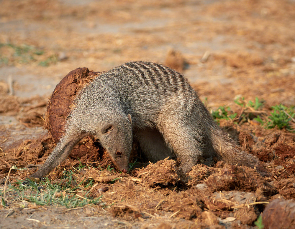 Manded mongoose on elephant dung 1600x1200 sRGB.jpg