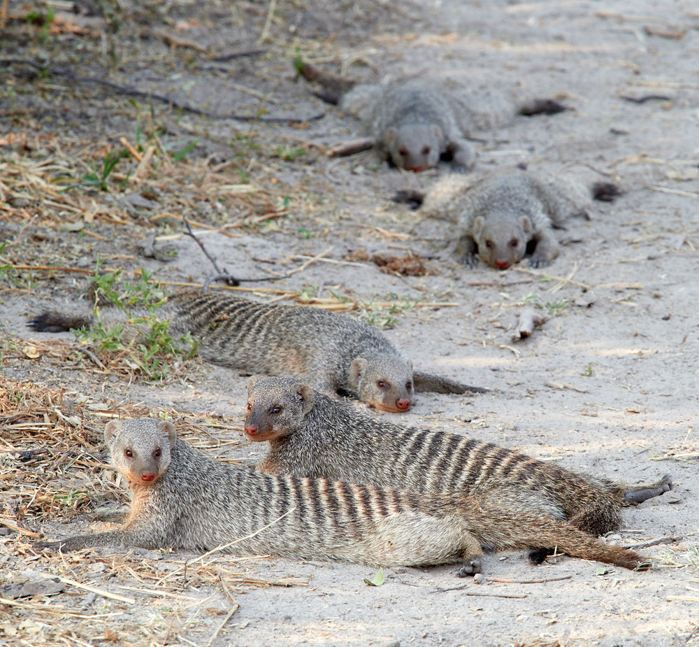 Banded mongoose resting 1600x1200 sRGB.jpg