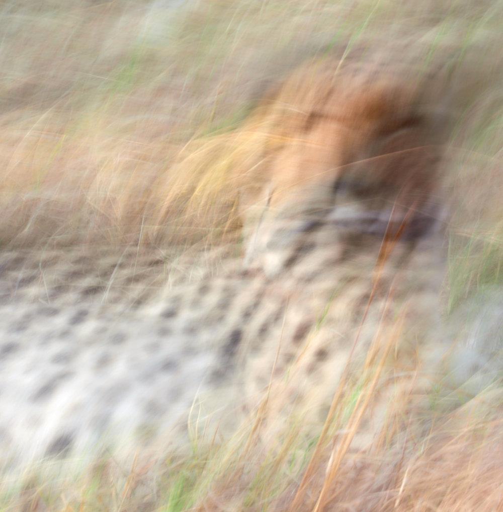 Cheetah 1600x1200 sRGB.jpg