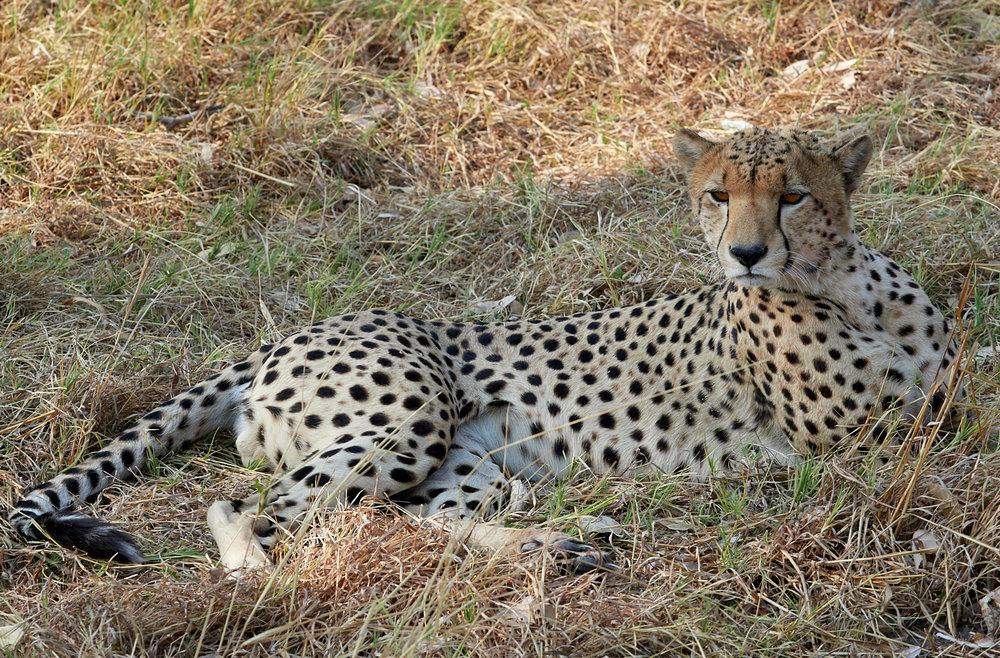 Alert cheetah 1600x1200 sRGB.jpg