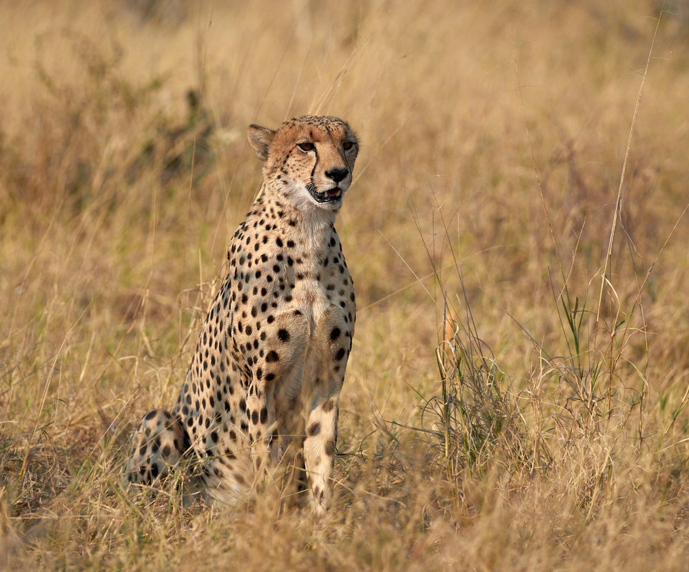 Cheetah in the grass 1600x1200 sRGB.jpg