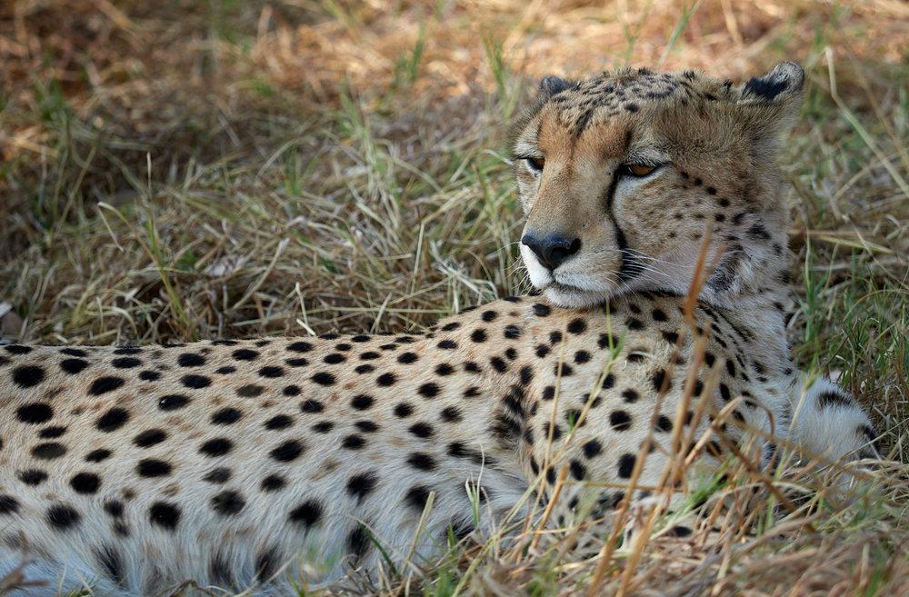 Resting Cheetah Savute Marsh 1600x1200 sRGB.jpg