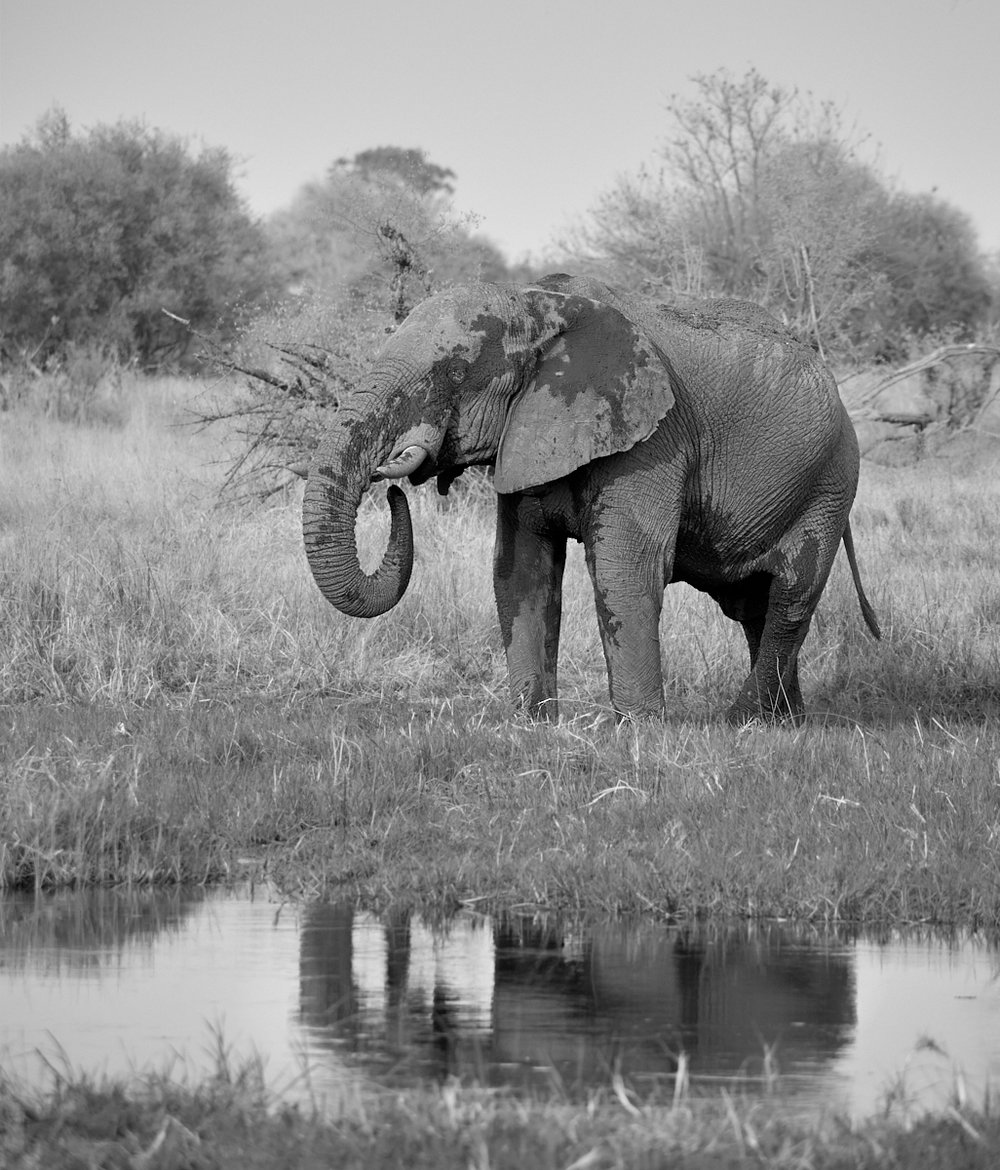 Elephant reflection mono 1600x1200 sRGB.jpg