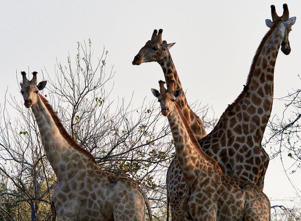 Giraffe 1600x1200 sRGB.jpg