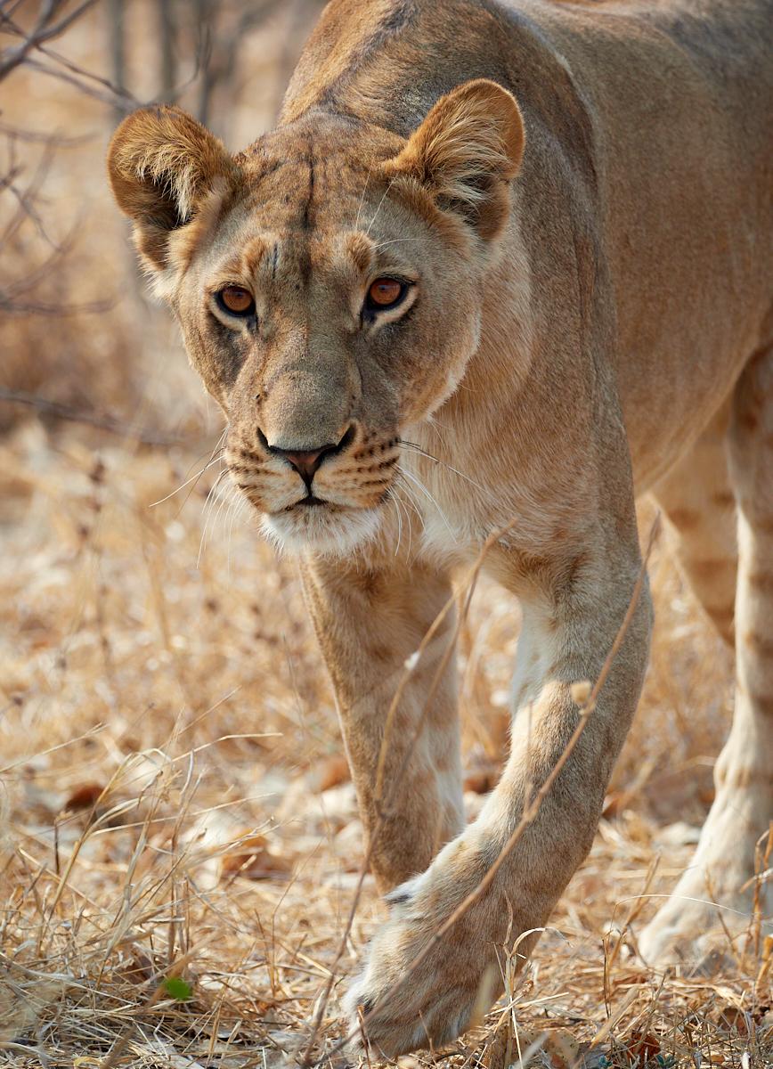 Marsh pride lioness hunting 1600x1200 sRGB.jpg