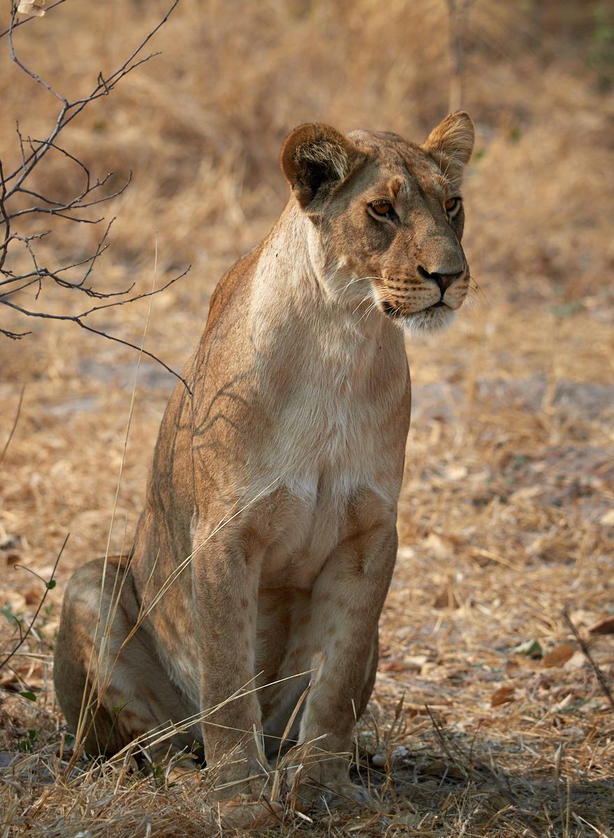 Marsh pride lioness Savute 1600x1200 sRGB.jpg