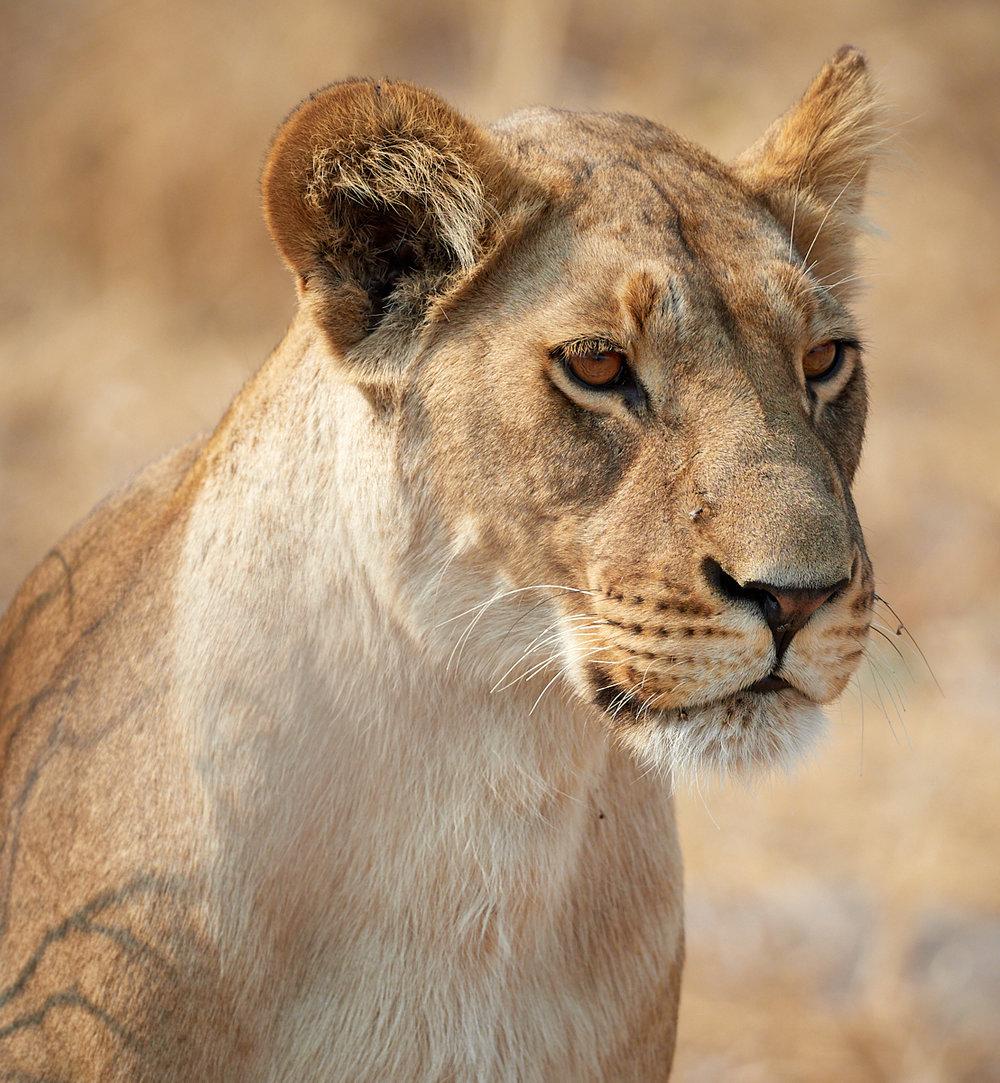 Marsh pride lioness portrait 1600x1200 sRGB.jpg