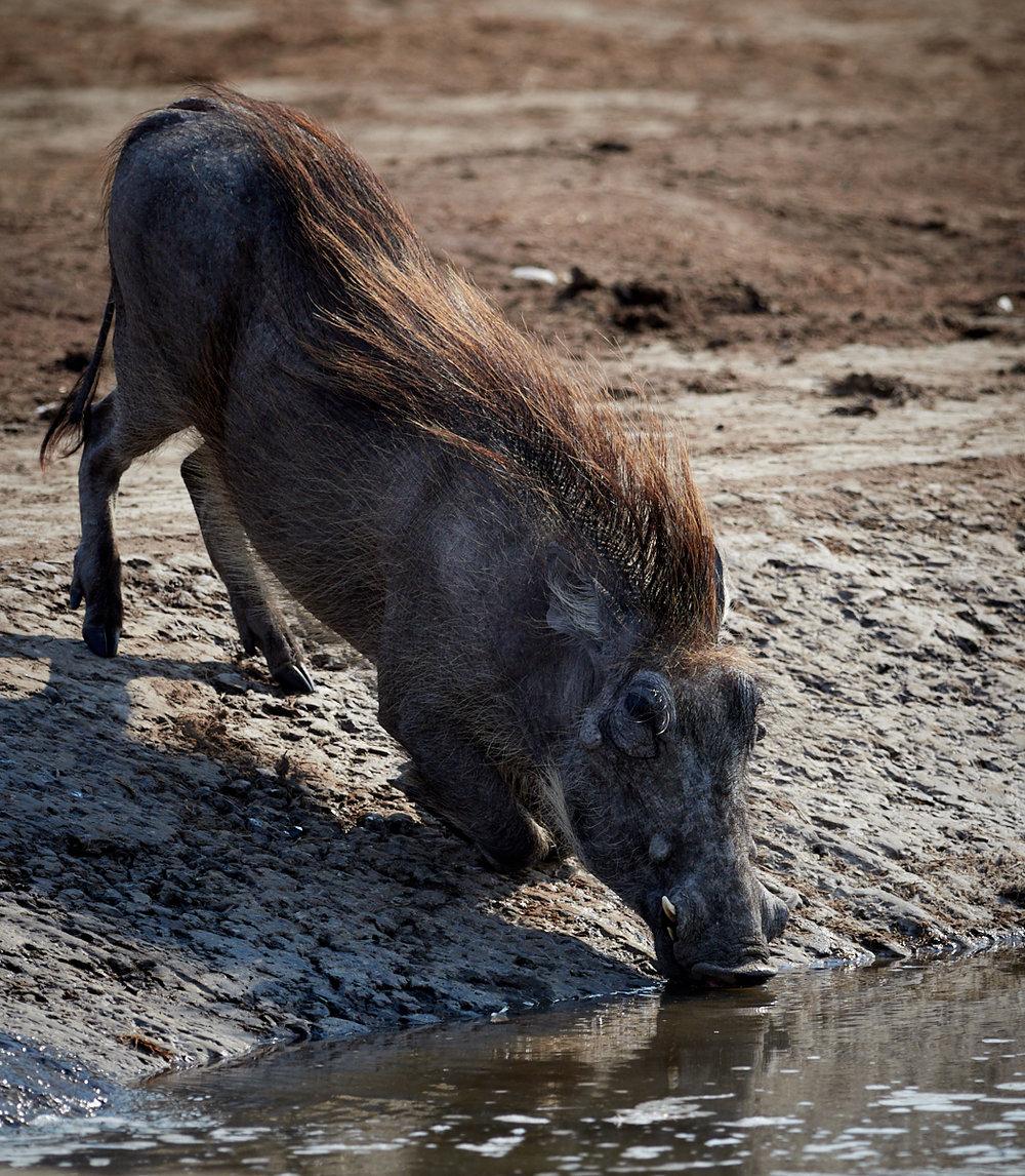 Warthog drinking 1600x1200 sRGB.jpg