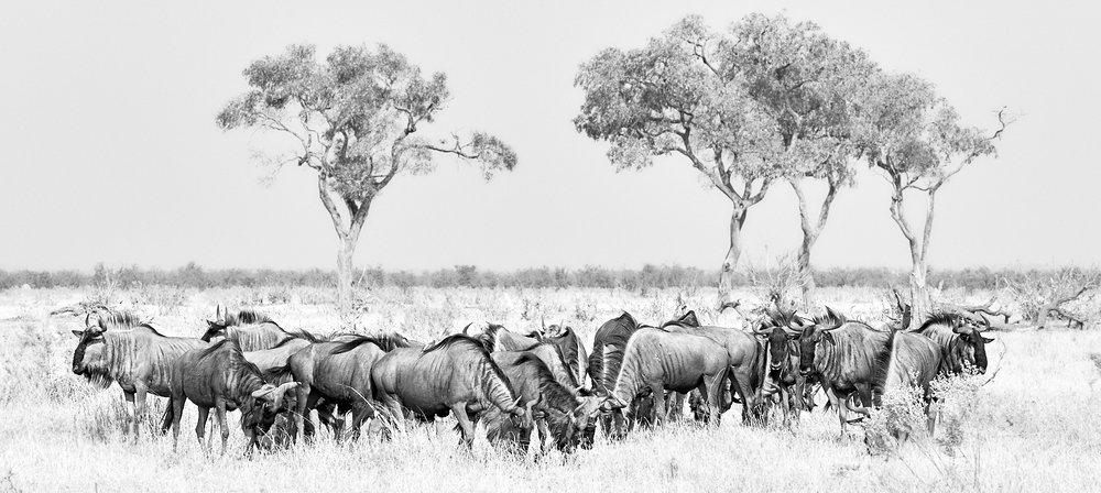 Wildebeeste circling their waggons 1600x1200 sRGB.jpg