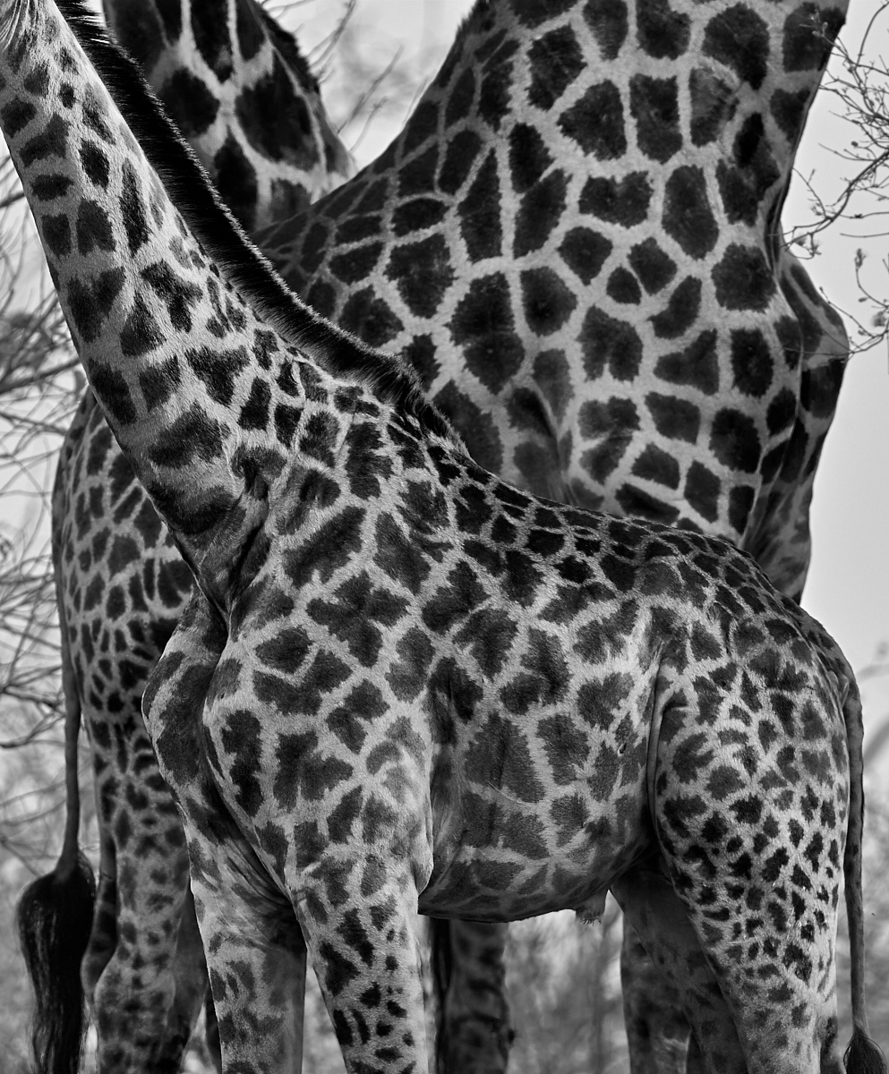 Giraffe patterns 1600x1200 sRGB.jpg