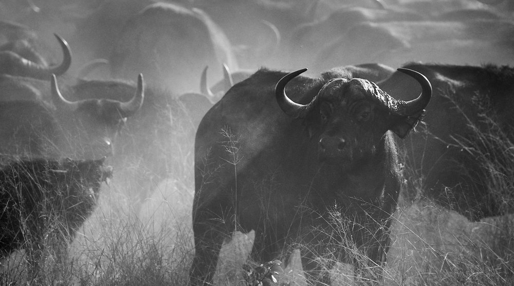 Buffalo in the dust 1600x1200 sRGB.jpg