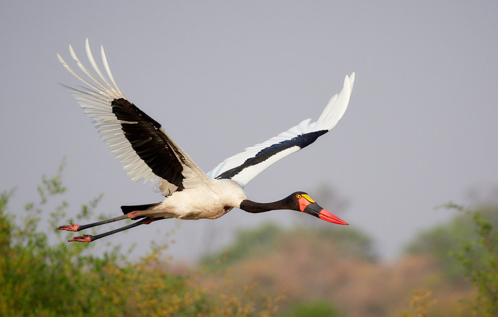 Saddle-billed stork 1600x1200 sRGB.jpg