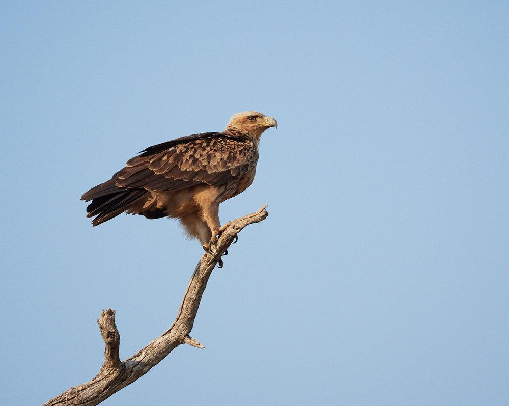 Tawny eagle 1600x1200 sRGB.jpg