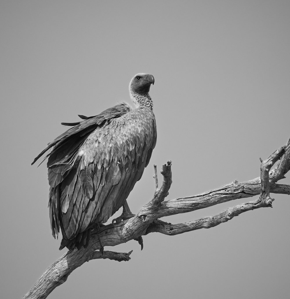 White backed Vulture 1600x1200 sRGB.jpg