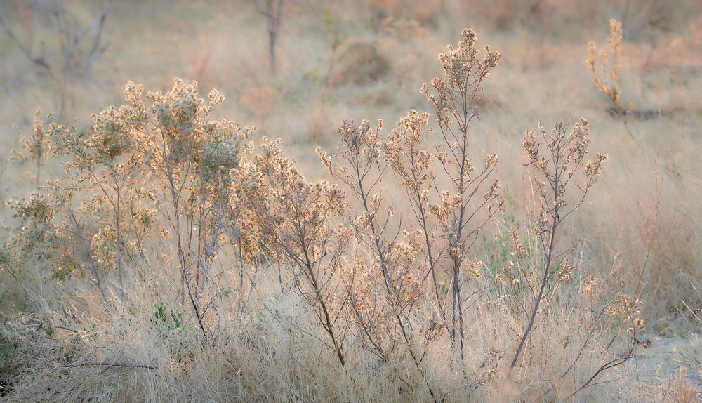 Okavango Sage in evening light 1600x1200 sRGB.jpg