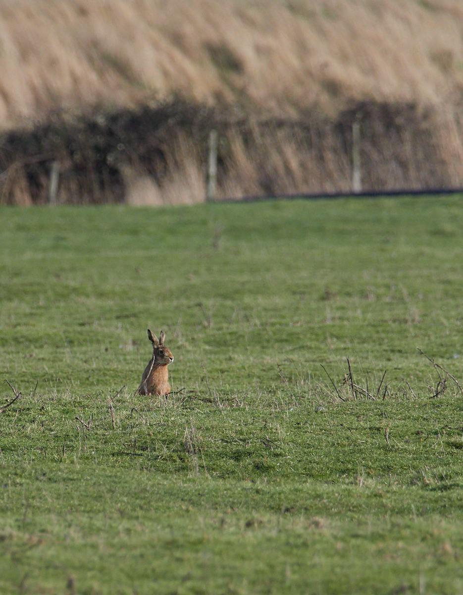 Holkham hare