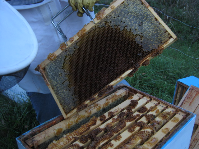Charis shows us capped and uncapped honey cells