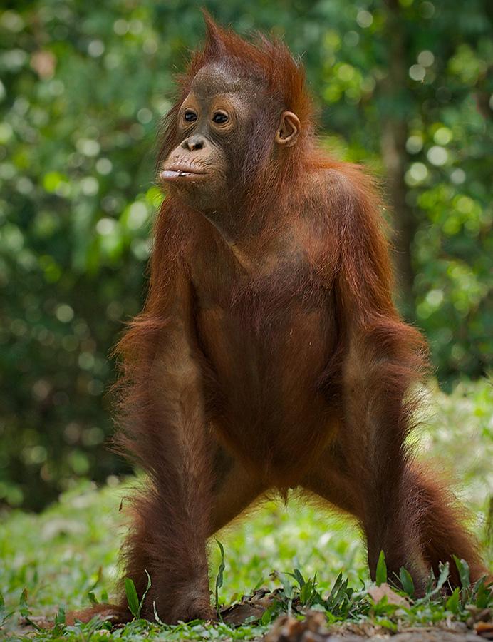 orangutan_standing_11.jpg
