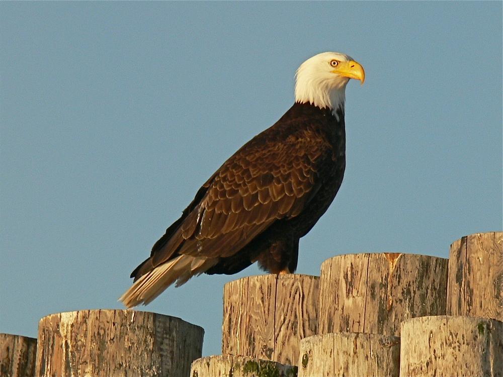 bigstock-Eagle-On-Pilings-4963975.jpg