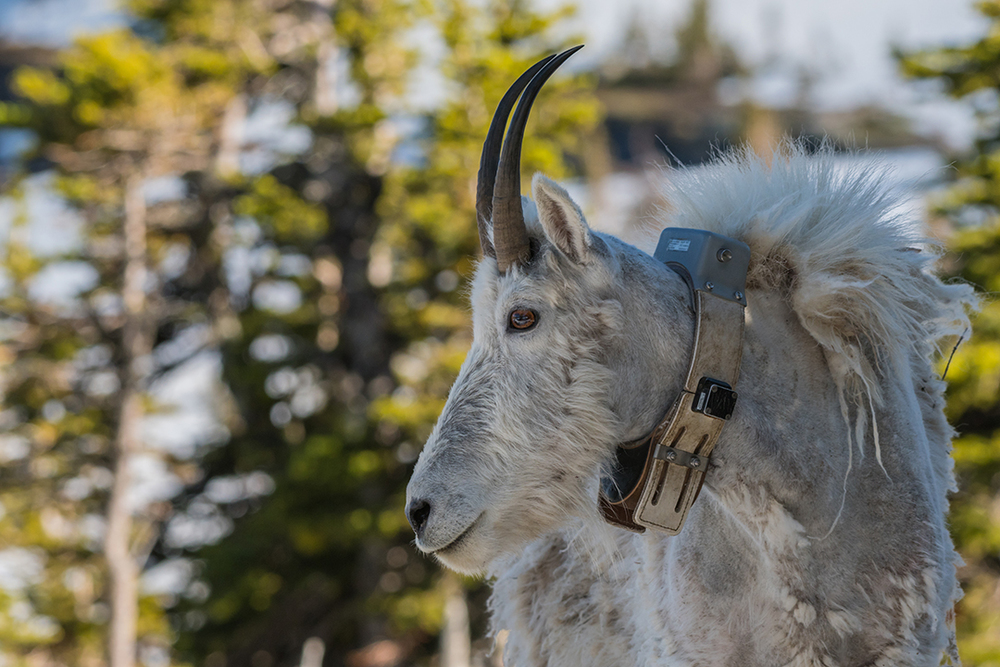 Adult Mountain Goat Wearing Research Collar, Glacier National Park