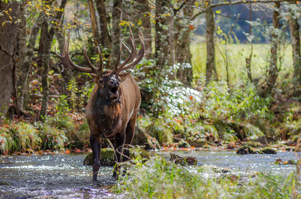 Elk Bugling while standing in creek, Great Smoky Mountain National Park