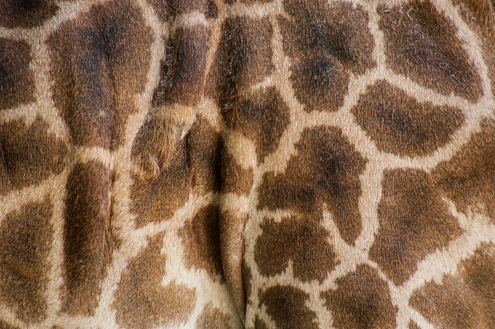 Giraffe Skin Close Up, San Antonio Zoo, San Antonio, TX