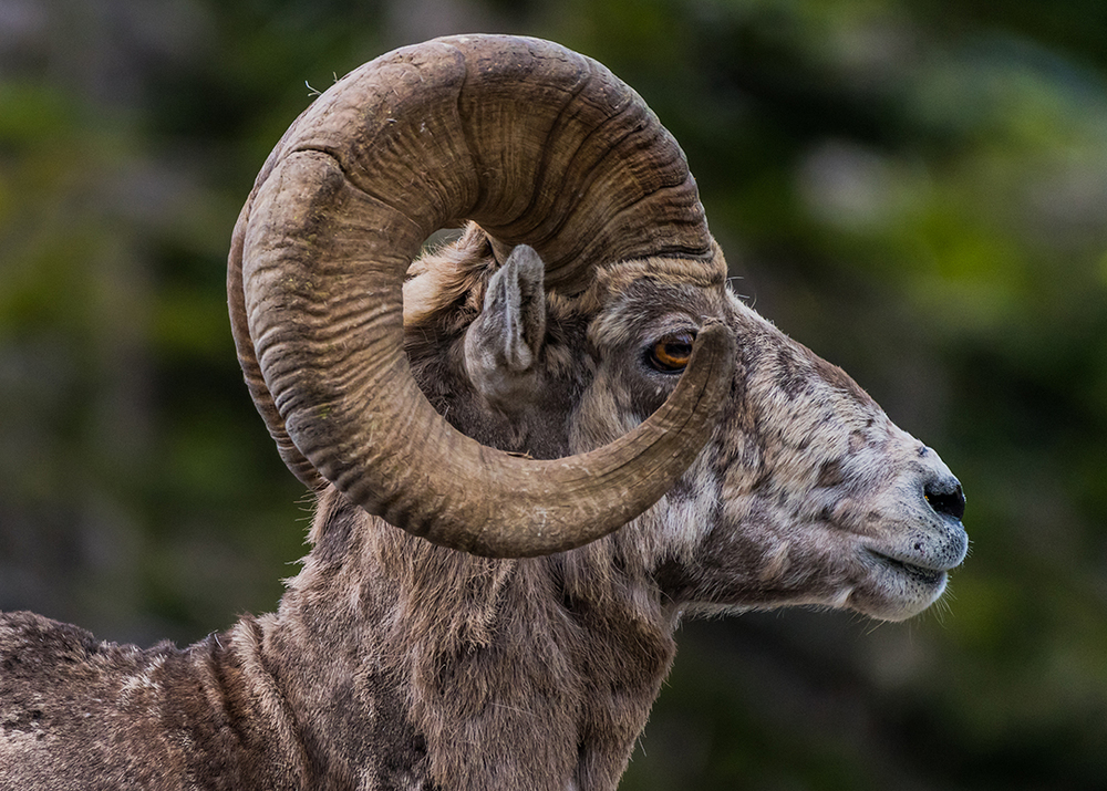Big Horn Sheep Side View Looking Right, Glacier National Park