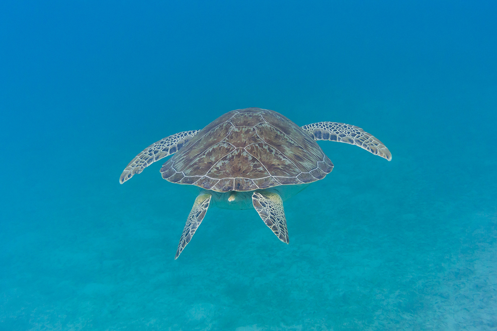 Green Sea Turtle Swims Away, US Virgin Islands National Park