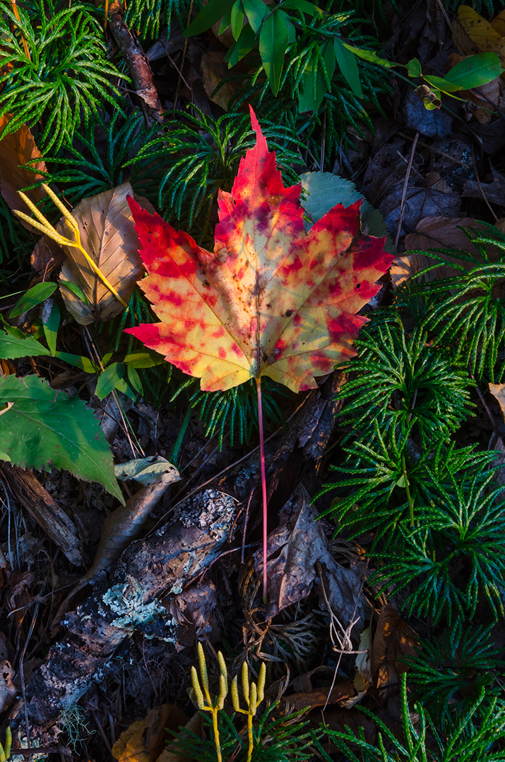 Maple Leaf on the Forest Floor, Rocky Mountain National Park