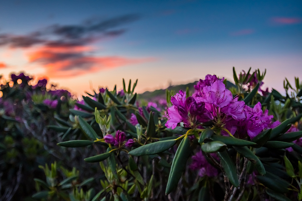 Rhododendron Flowers with Sunrise in Background, Appalachian National Scenic Trail
