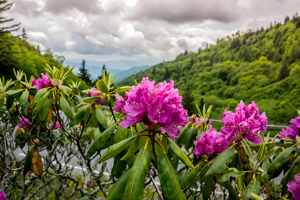 Rhododendron in Early Summer, Great Smoky Mountains National Park