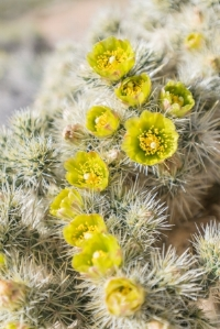 Large Group of Silver Cholla Flowers in California Desert