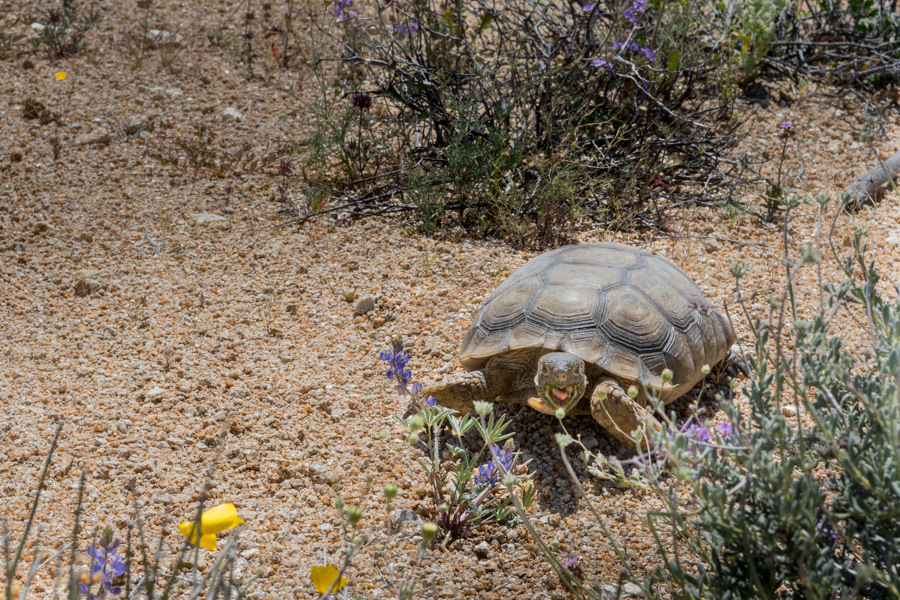 We saw this rare desert tortoise munching down on some super blooms while we hiked the Lost Palms trail last April.