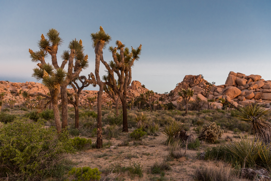 Morning Over Joshua Trees and Boulders