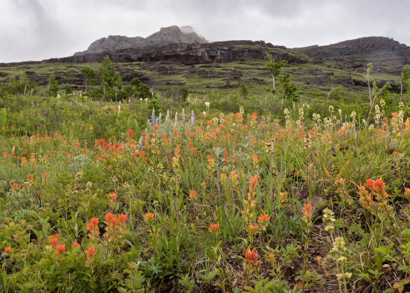 Indian Paintbrush Flowers Bloom on Rainy Mountain