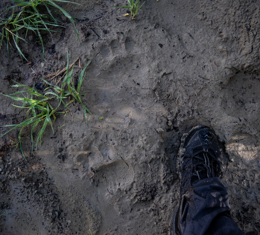 Thick mud revealed lots of recent wildlife activity--there's a large bear out there!