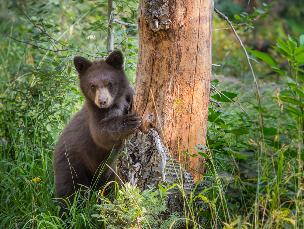 Bear Cub Peers Around Bare Tree