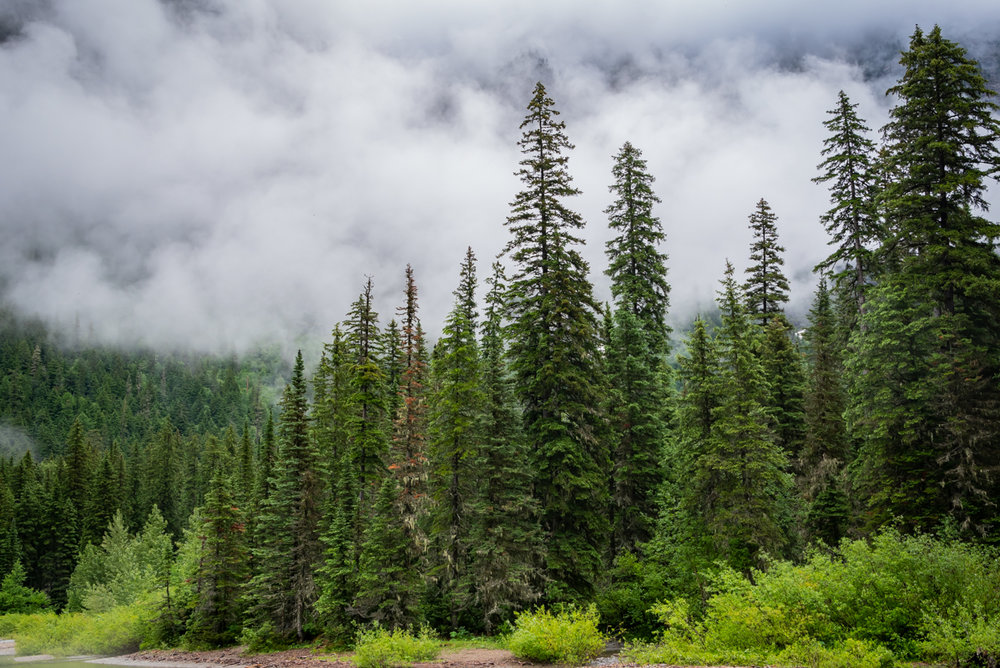 Tall Pines and Fog