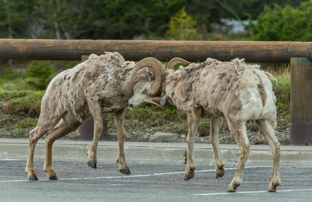Two Big Horn Sheep Butt Heads In Parking Lot