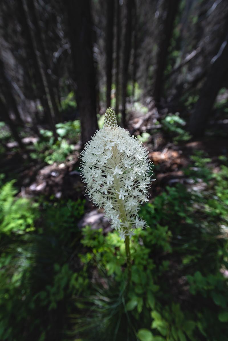 Flowering Bear Grass in Dark Forest