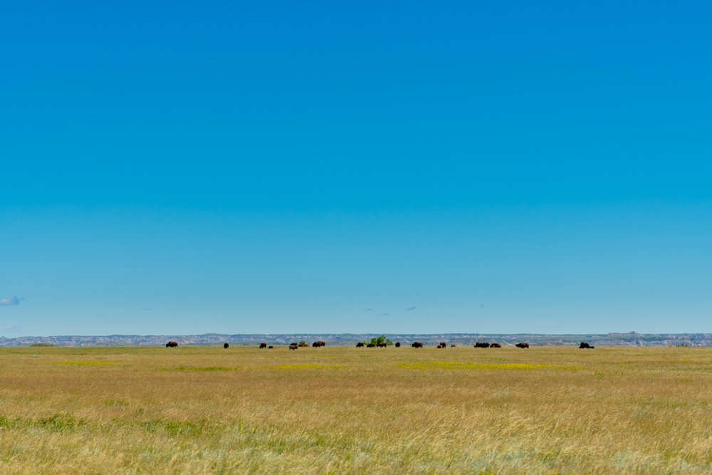 Bison Herd On High Prarie