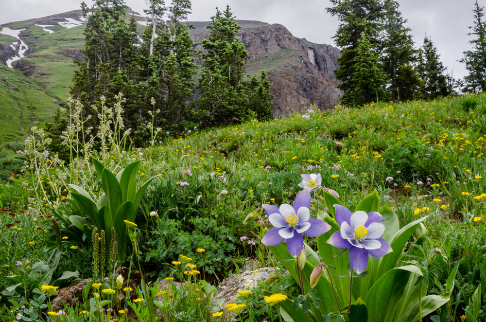 Columbine and Wildflowers in Colorado Mountain Basin