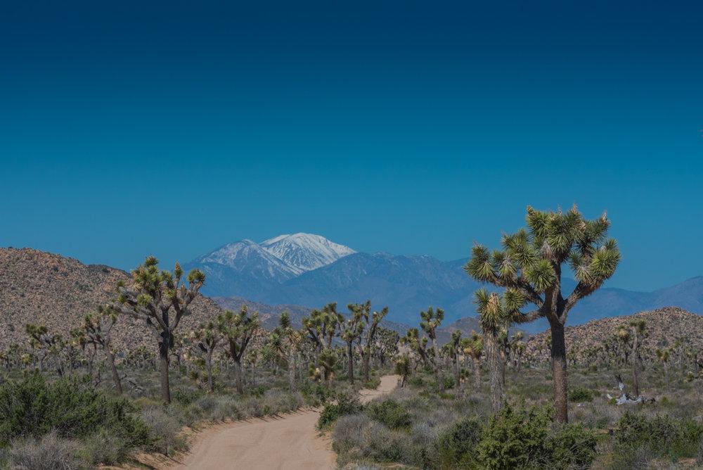 Wide Dirt Trail Winds Through Joshua Tree Field