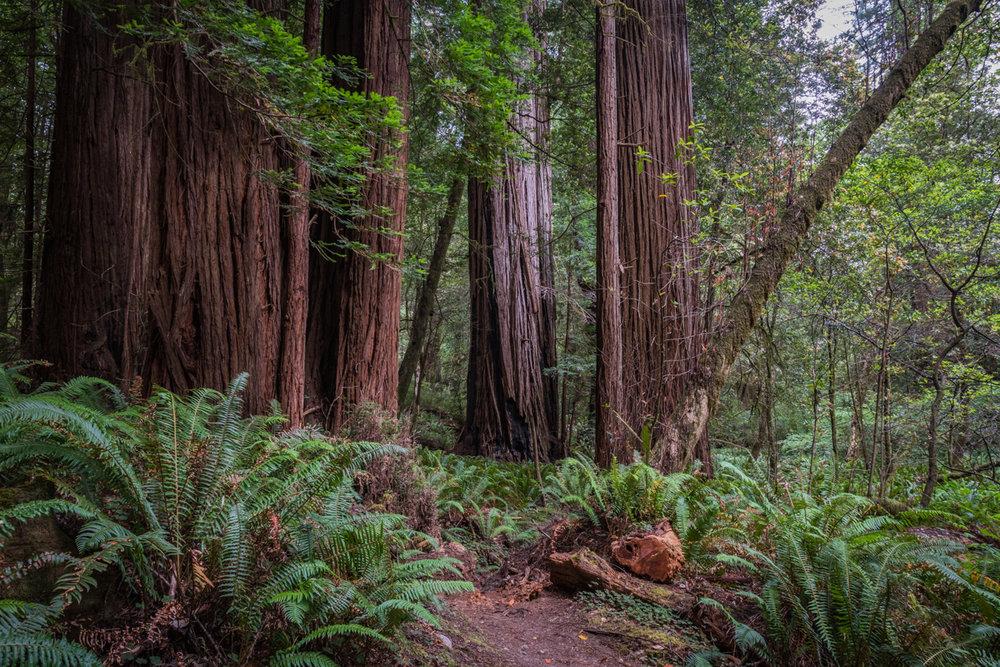 Trail Through Big Trees